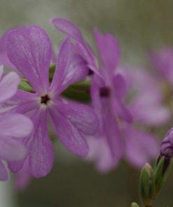 "Primula sieboldii ""Asahigata"""