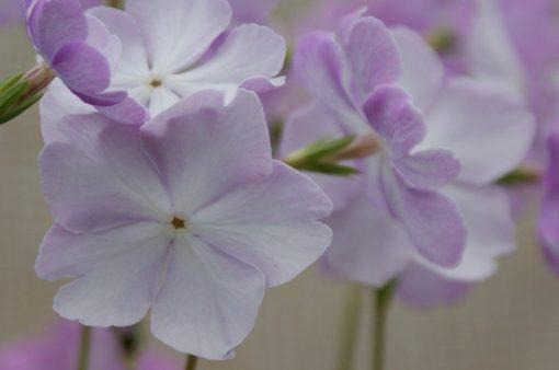 "Primula sieboldii ""Ayasegawa"""