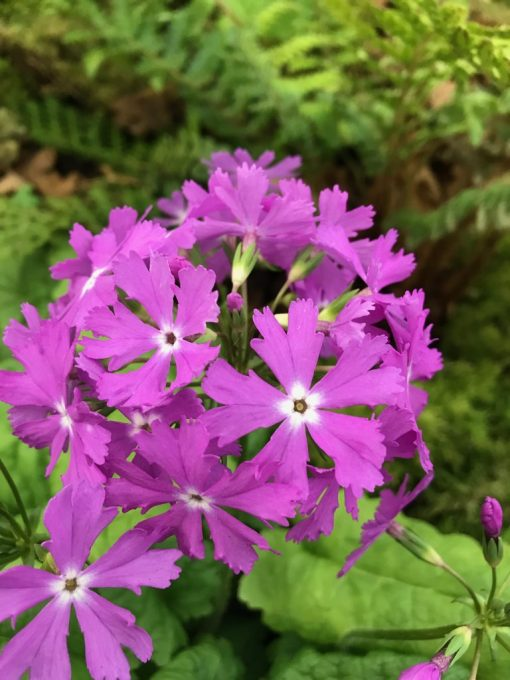 "Primula sieboldii ""Benjamin"""