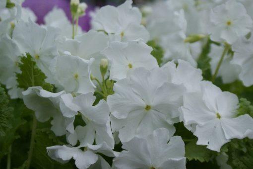 "Primula sieboldii ""Alba"""