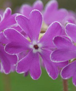 """Primula sieboldii """"Essie"""""""