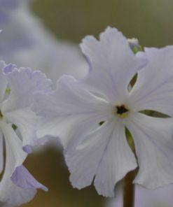 """Primula sieboldii """"Blue"""""""