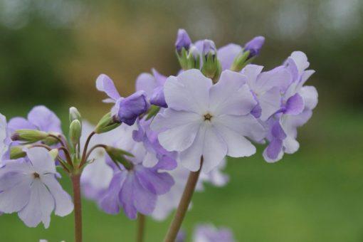 "Primula sieboldii ""Dart Rapids"""