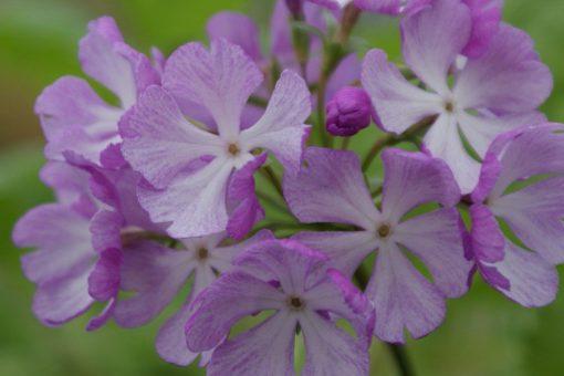 """Primula sieboldii """"Cherubim"""""""