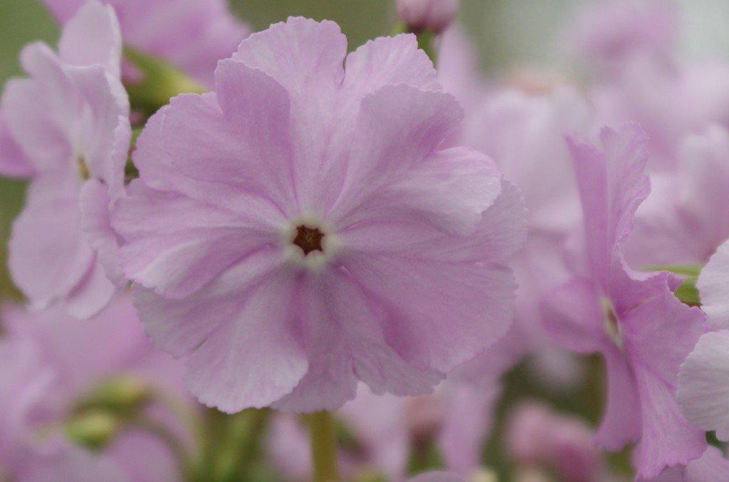 """Primula sieboldii """"Martin Nest Pink"""""""