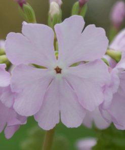 "Primula sieboldii ""Blush Pink"""