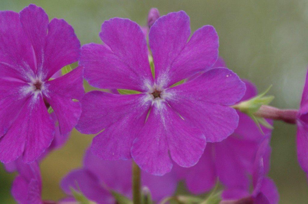 "Primula sieboldii ""Sekidaikô"""