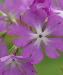 "Primula sieboldii ""Arimayama"""