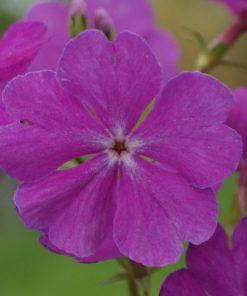 """Primula sieboldii """"Pago Pago"""""""