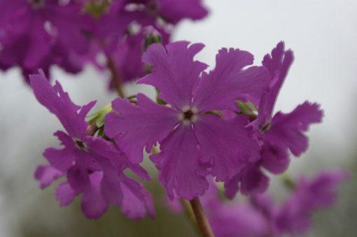 "Primula sieboldii ""Bureikô"""