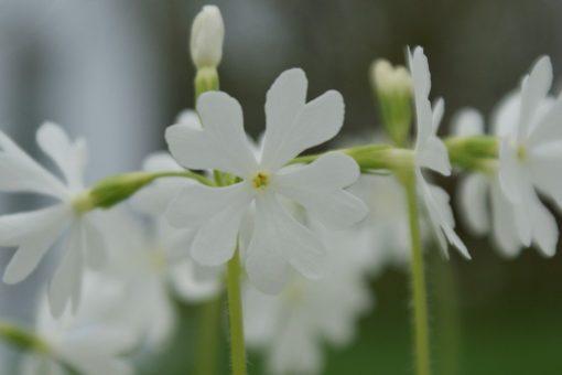 "Primula sieboldii ""Inukine White"""
