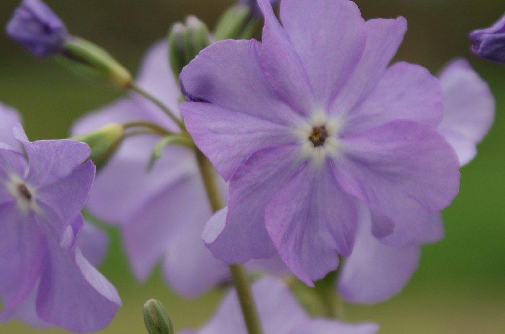 "Primula sieboldii ""Seraphim"""