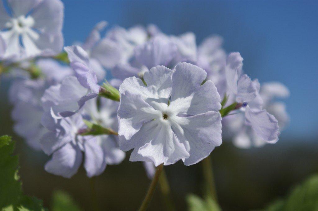 """Primula sieboldii """"Mita-jiman"""""""