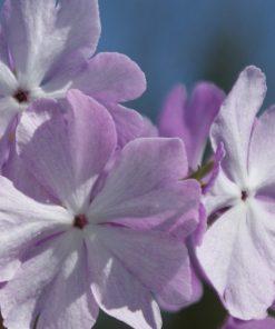 "Primula sieboldii ""Hanaguruma"""