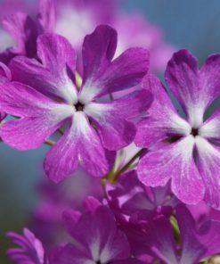 """Primula sieboldii """"Hatu-garasu"""""""