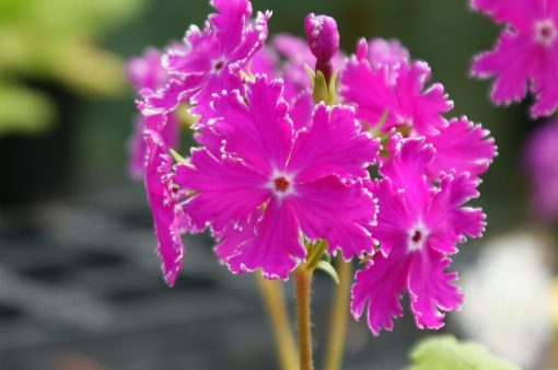 "Primula sieboldii ""Kokoroiki"""