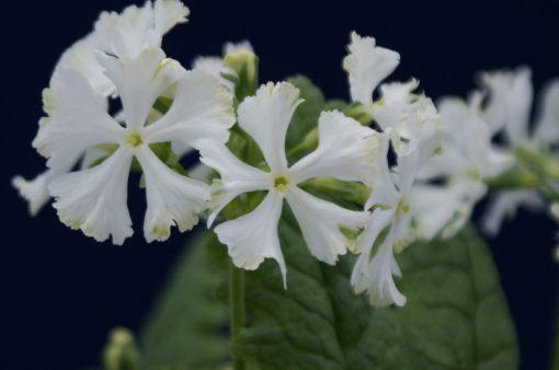 """Primula sieboldii """"Matu-no-yuki"""""""