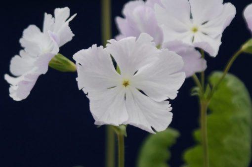 """Primula sieboldii """"Oshibori"""""""