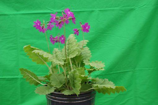 "Primula sieboldii ""Koto-no-shirabe"""