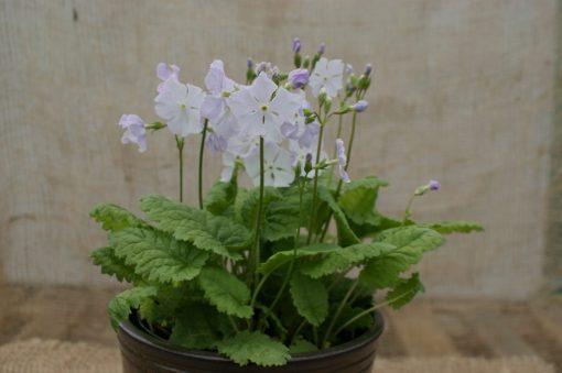 "Primula sieboldii ""Saiun"""