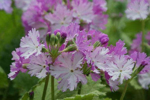 """Primula sieboldii """"Miho-no-koji"""""""