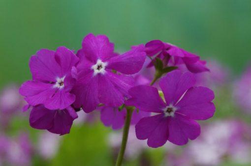 "Primula sieboldii ""Daiminnishiki"""