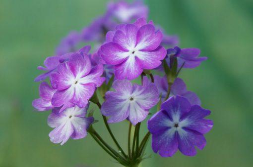 """Primula sieboldii """"Blue Lagoon"""""""