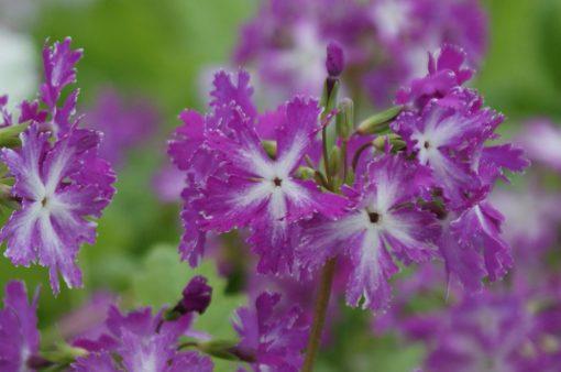 "Primula sieboldii ""Senshô"""