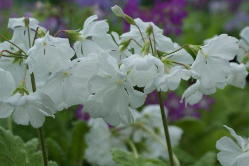 "Primula sieboldii ""Mangeto"""