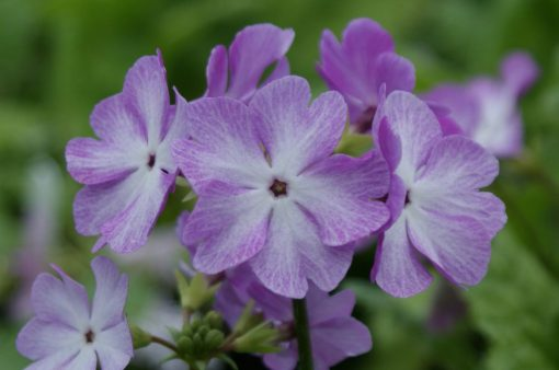 """Primula sieboldii """"Rock Candy"""""""