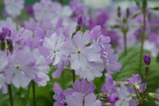 "Primula sieboldii ""Musashino"""