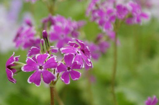 "Primula sieboldii ""Nankin-kozakura"""
