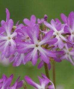 """Primula sieboldii """"Noboruko"""""""