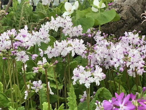 """Primula sieboldii """"Kashima"""""""