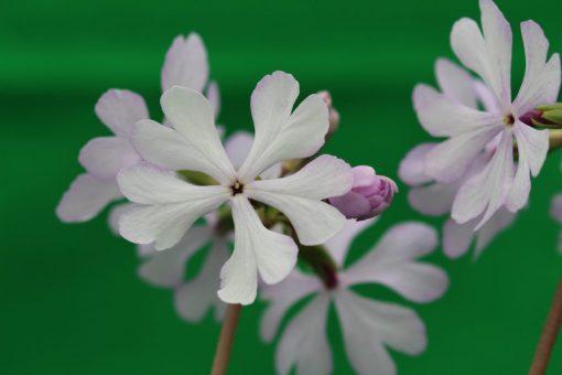 """Primula sieboldii """"Shirawashi"""""""