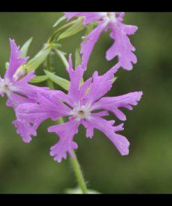 "Primula sieboldii ""Edomurasaki"""