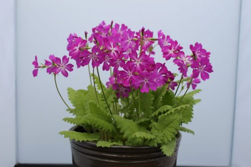 "Primula sieboldii ""Mai-ôgi"""