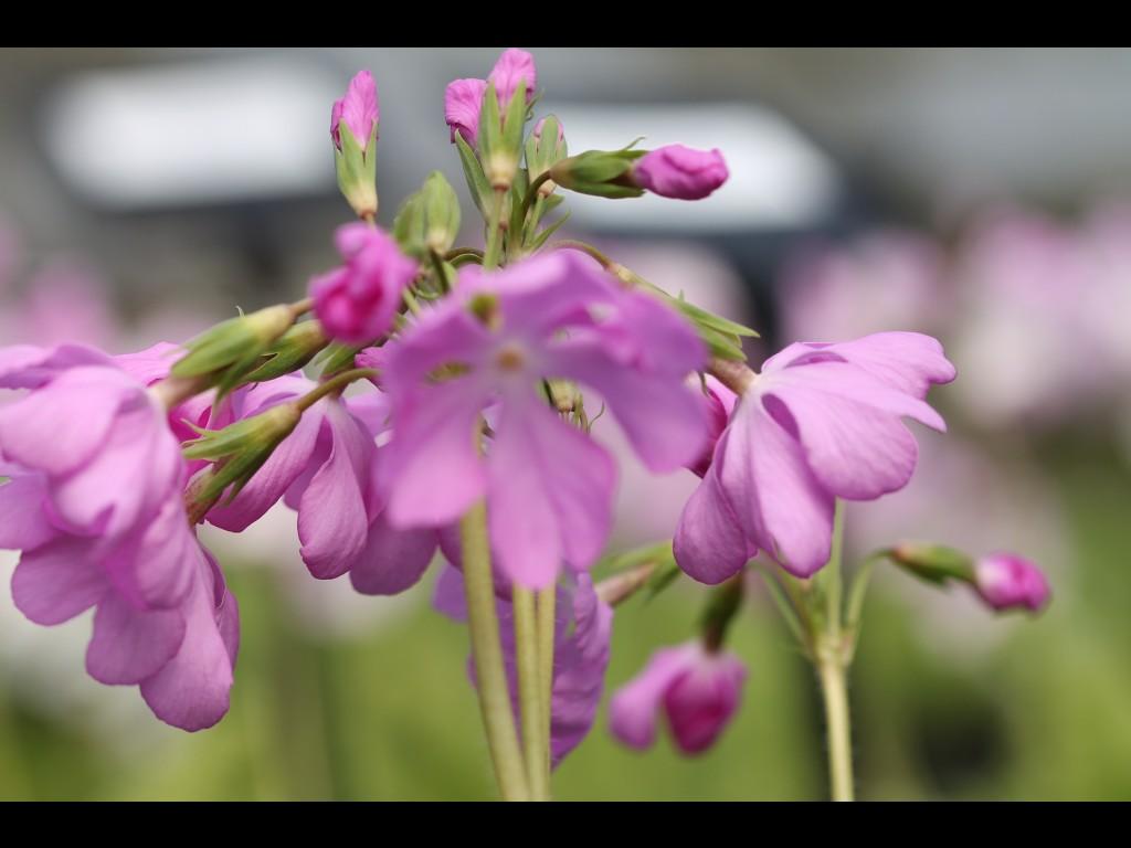 """Primula sieboldii """"Izutu"""""""