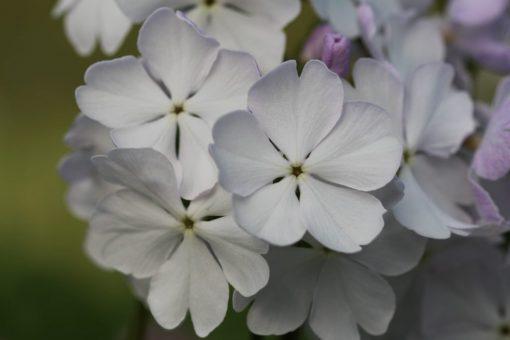 "Primula sieboldii ""Sakuragawa"""