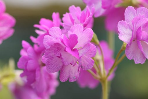 "Primula sieboldii ""Iso-botan"""