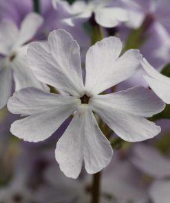 "Primula sieboldii ""Aki-no-yosooi"""