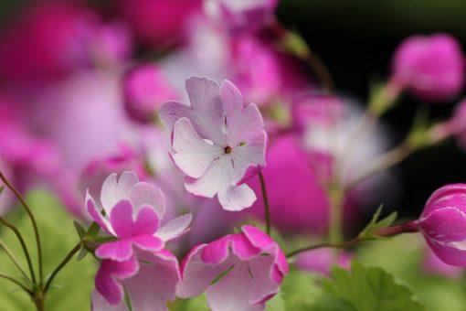 """Primula sieboldii """"Gin-pukurin"""""""