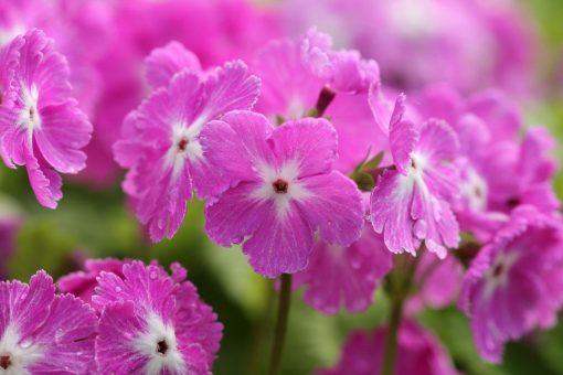 "Primula sieboldii ""Carefree"""