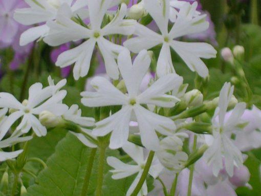 """Primula sieboldii """"Aoba-no-fue"""""""