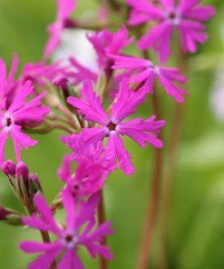 """Primula sieboldii """"Aka-tonbo"""""""