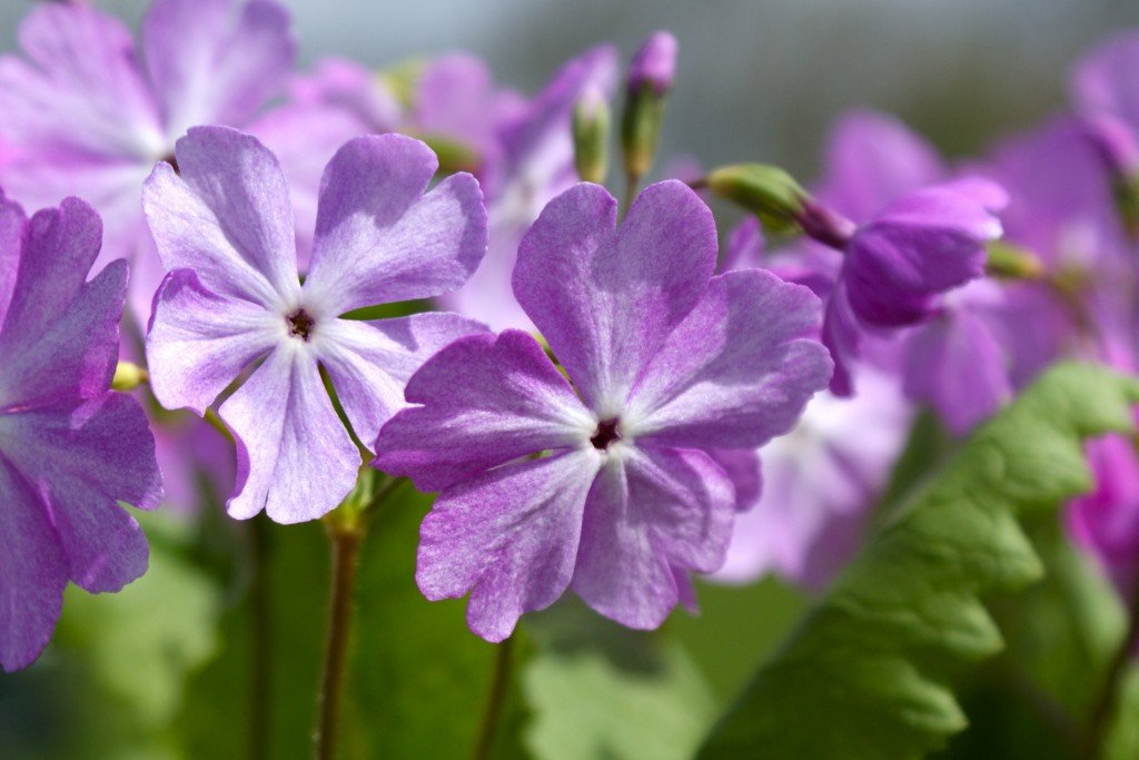 "Primula sieboldii ""Daikoshi"""