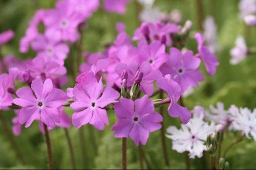 "Primula sieboldii ""Gunma"""