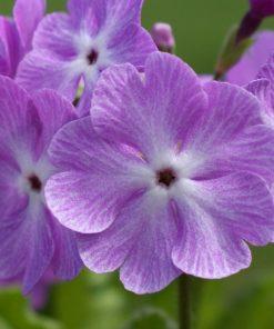 "Primula sieboldii ""Geisha Girl"""