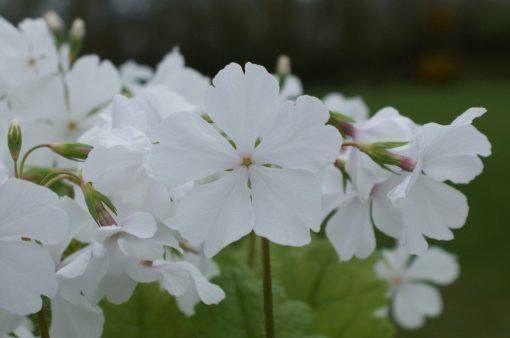 "Primula sieboldii ""Ginfukurin"""