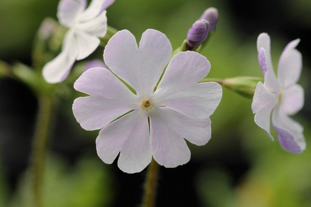 """Primula sieboldii """"Kihi-no-yume"""""""